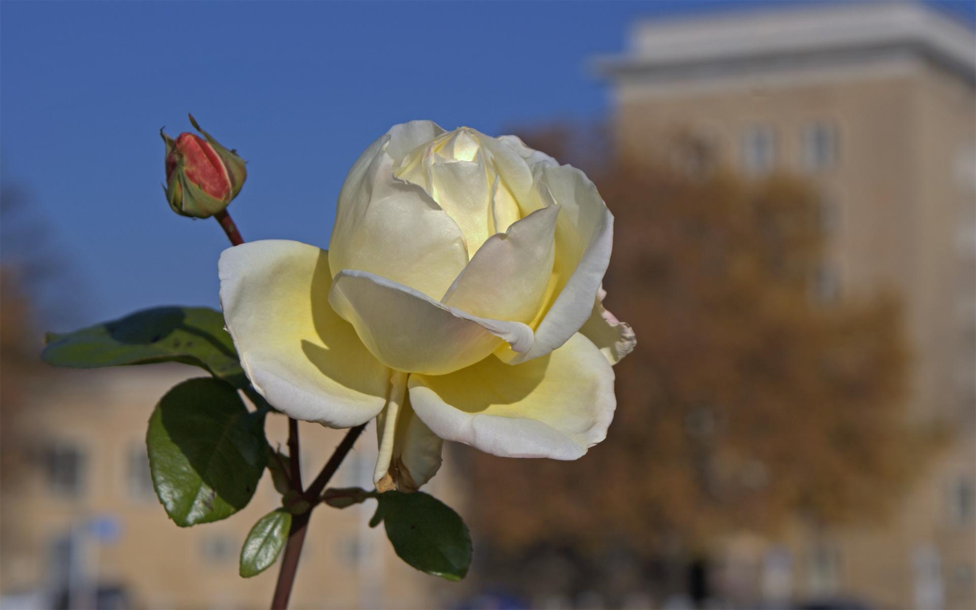 Stürzenberger Weiße Rose