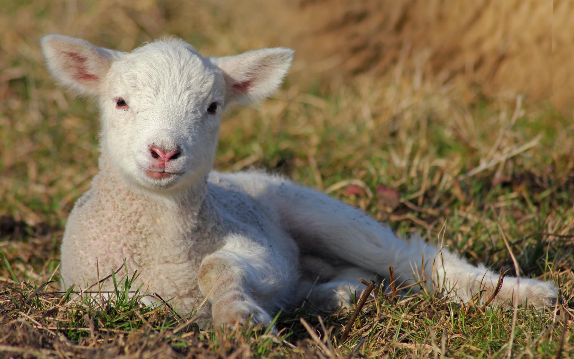 so brav wie ein Lamm