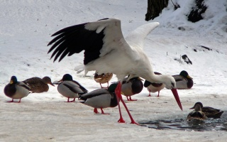 Storch im Winter