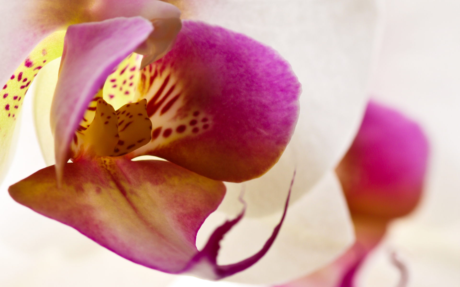 Wallpaper orchidee steine  Orchidee Wallpaper, 1920x1200 | widescreen-wallpapers.de